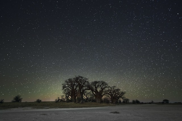 Созвездие Орион и баобабы в Ботсване. Автор Бет Мун