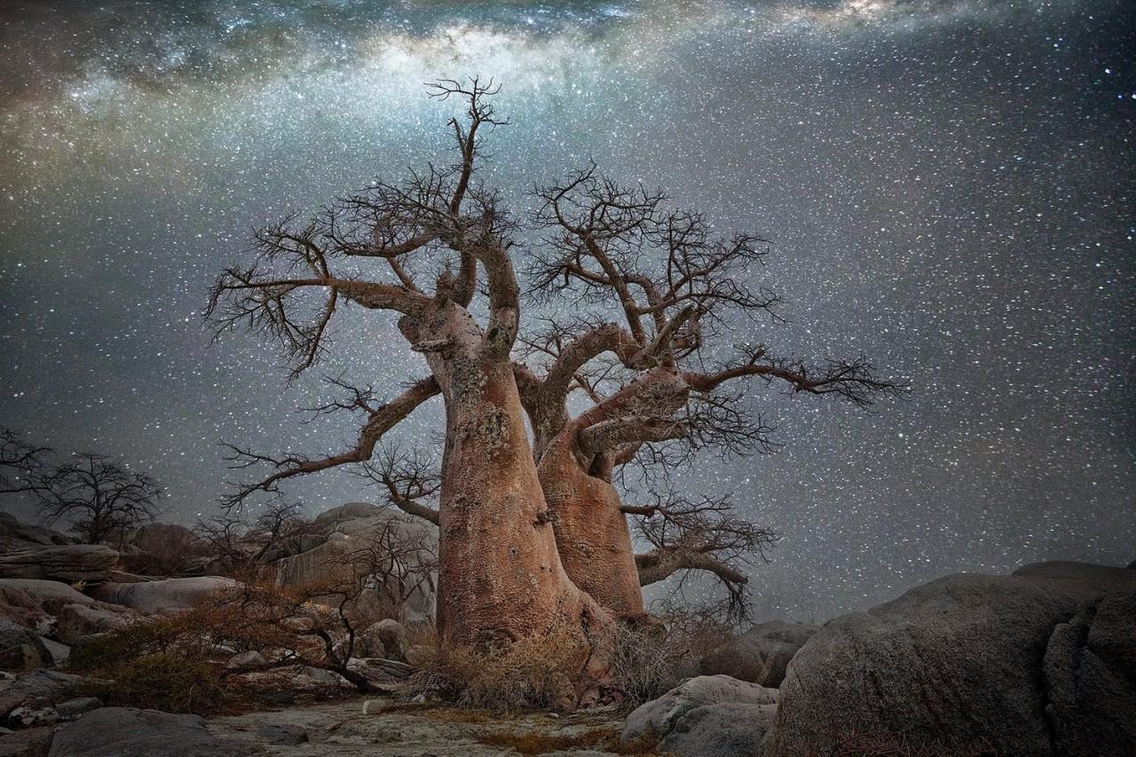 Созвездие Паруса и баобаб в Ботсване. Автор Бет Мун
