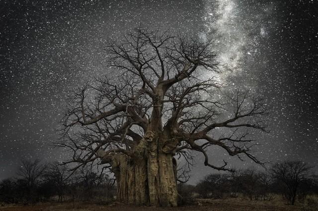 Созвездие Ящерица и баобаб в Ботсване. Автор Бет Мун