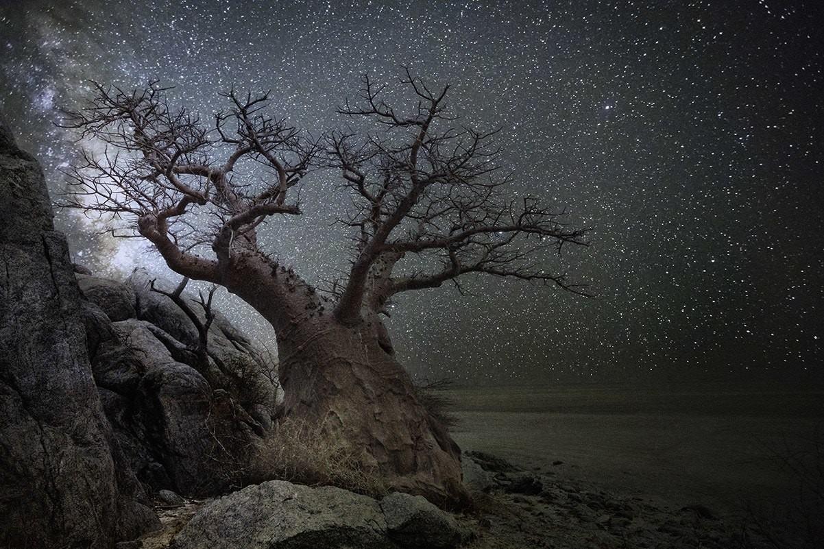 Созвездие  Лира и баобаб в Ботсване. Автор Бет Мун
