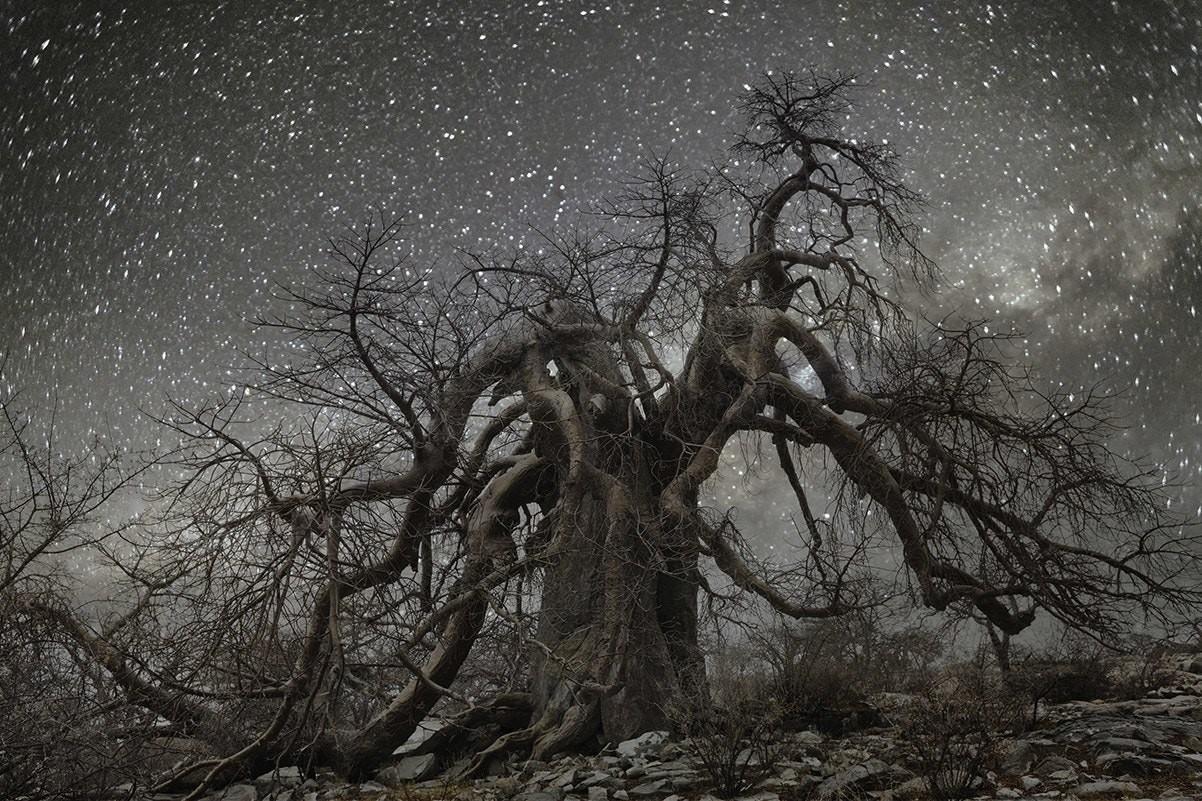 Созвездие Гидра и баобаб в Ботсване. Автор Бет Мун