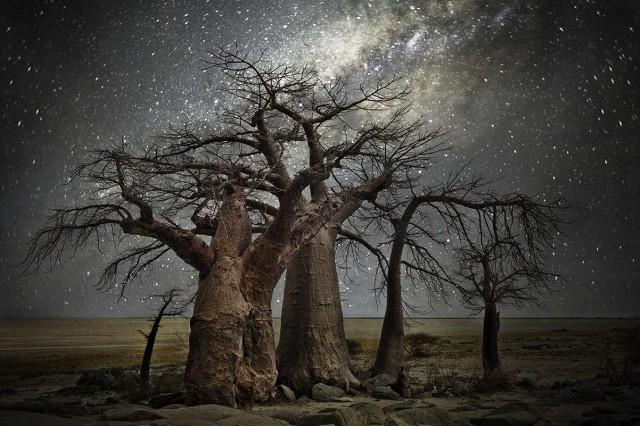 Созвездие Летучая Рыба и баобабы в Ботсване. Автор Бет Мун