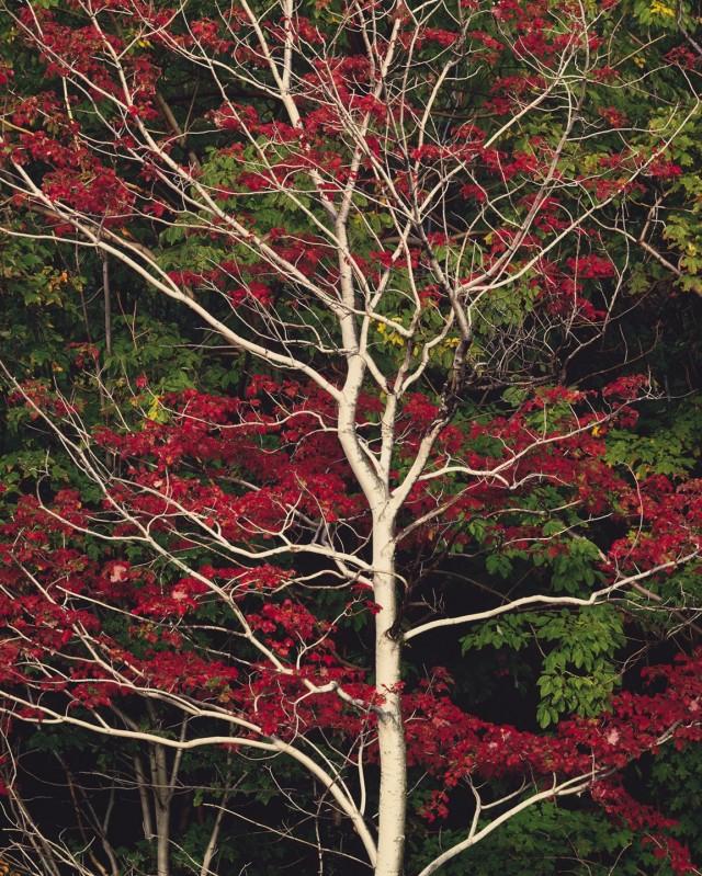 Красные листья и белый ствол, Нью-Гэмпшир. Автор Кристофер Бёркетт