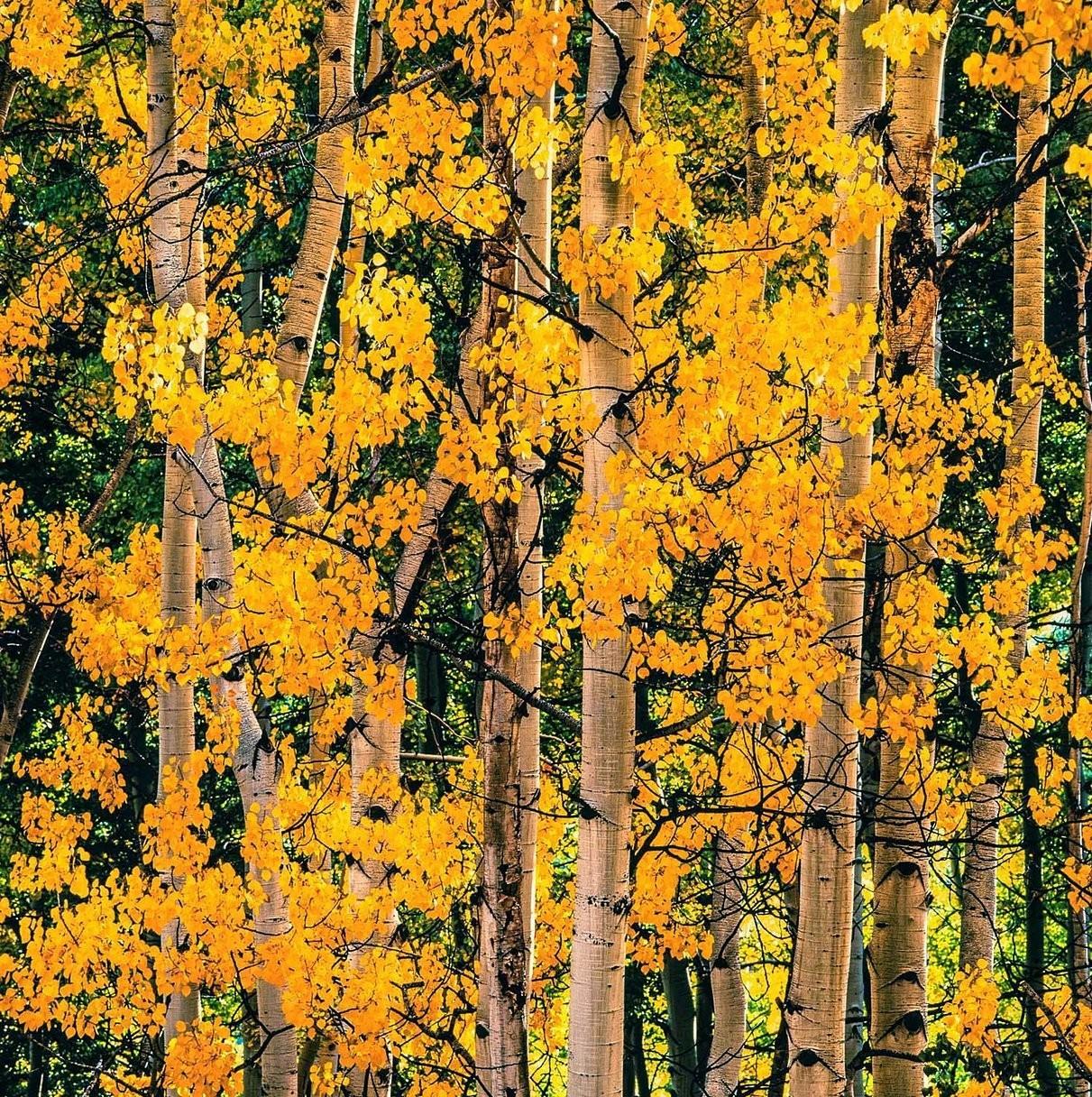 Осины, Колорадо, 2017. Автор Кристофер Бёркетт