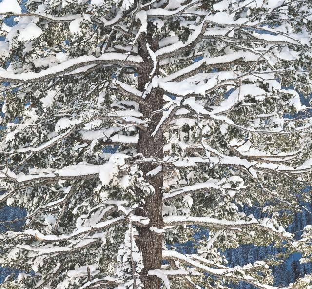Пихта в снегу, Вайоминг. Автор Кристофер Бёркетт