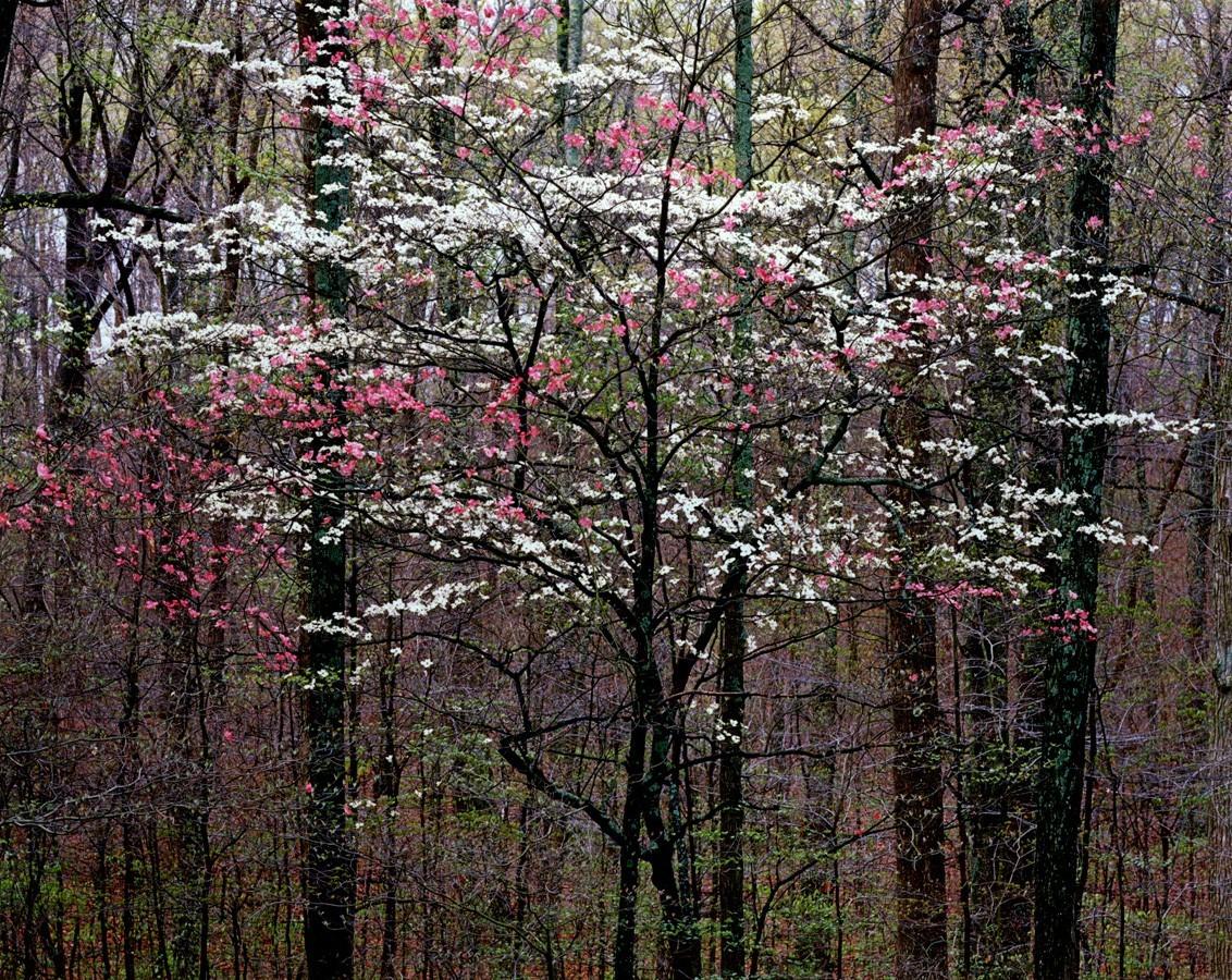 Розово-белый кизил в Кентукки. Автор Кристофер Бёркетт