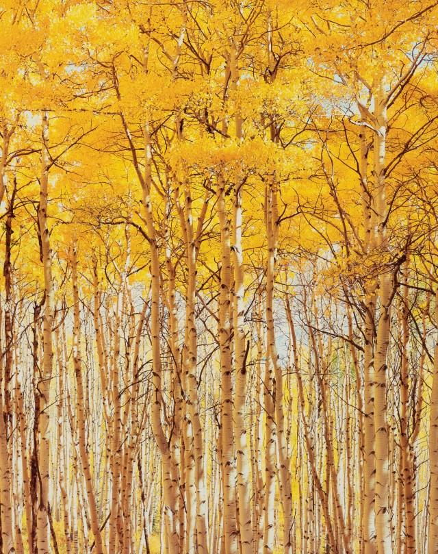 Солнечные осины, Колорадо. Автор Кристофер Бёркетт