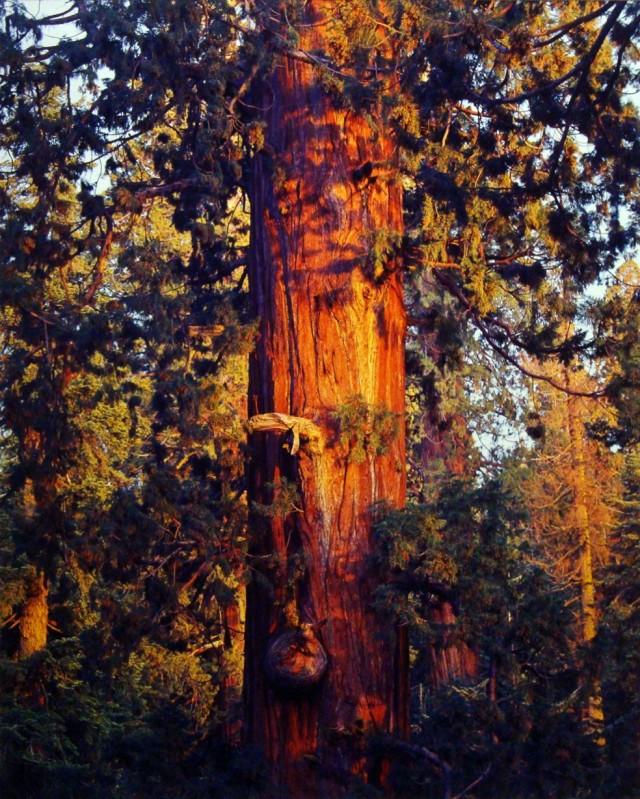 Старая секвойя на закате в Калифорнии. Автор Кристофер Бёркетт