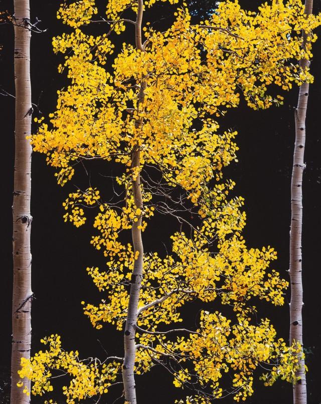 Грациозная осина, Колорадо. Автор Кристофер Бёркетт