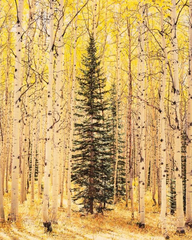 Ель затерялась в ярком осиновом лесу, Колорадо. Автор Кристофер Бёркетт