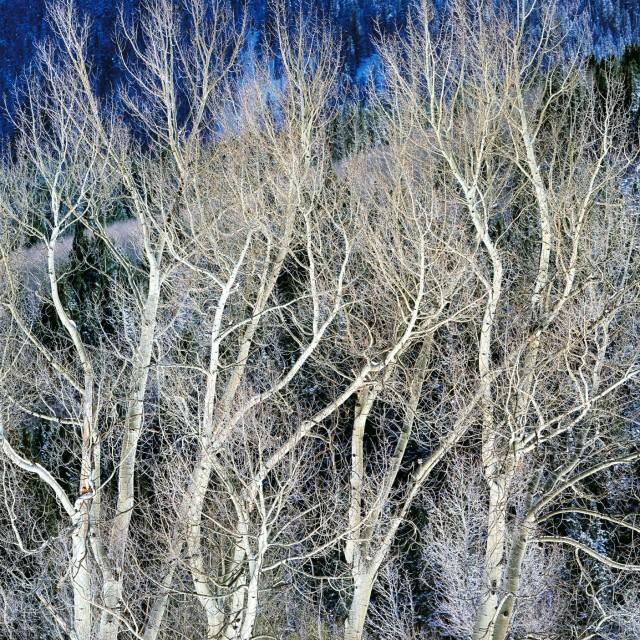 Закружившиеся зимние осины, Колорадо. Автор Кристофер Бёркетт