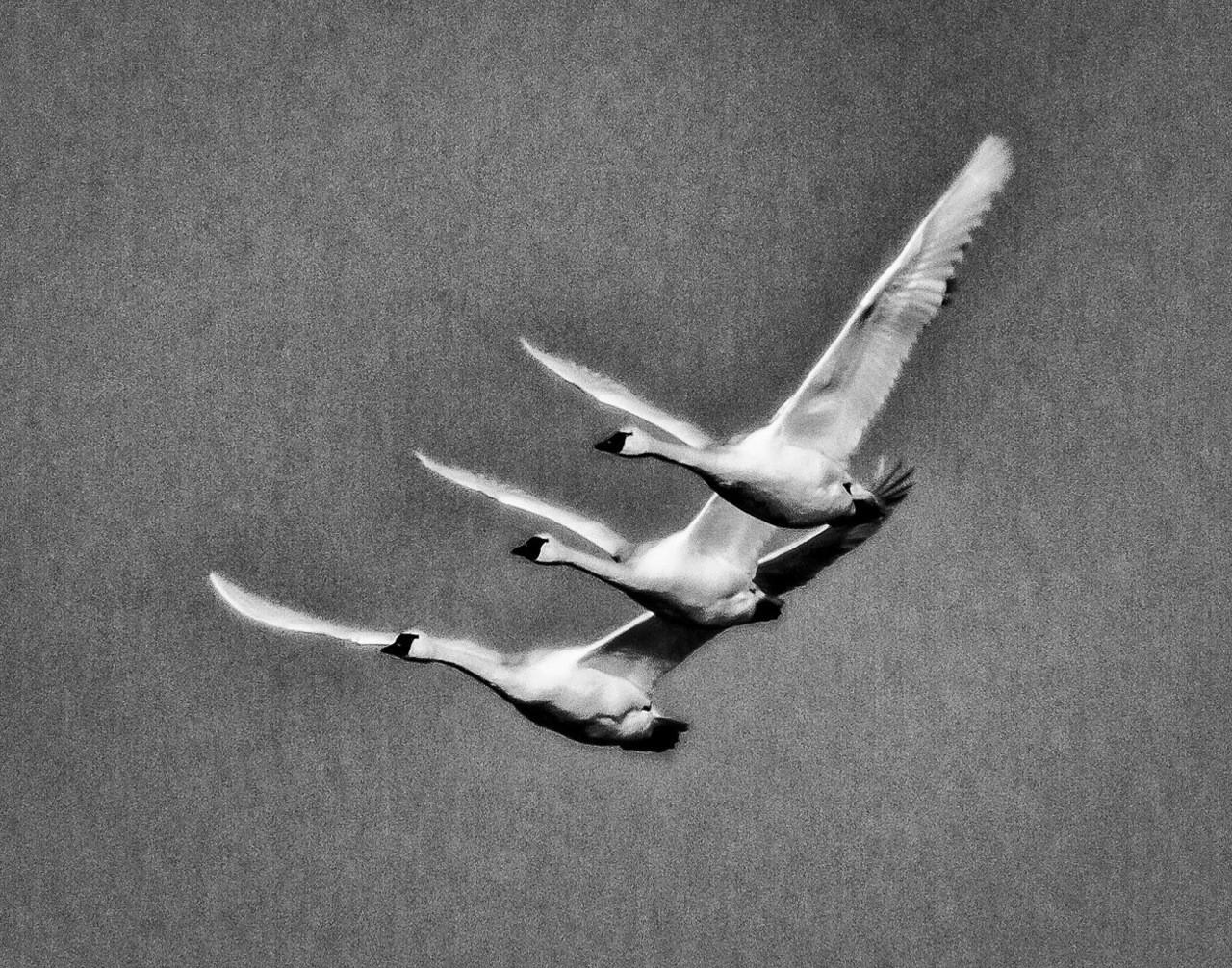 Поощрительная премия в категории «Дикие животные» среди любителей, 2020. «Три лебедя». Автор Майкл Рауш