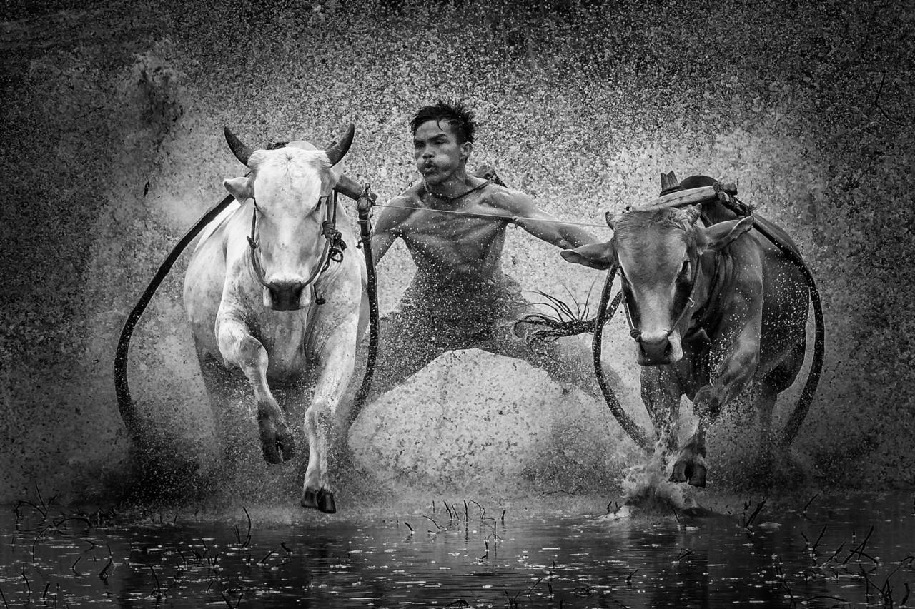 2 место в номинации «Фотографа года» среди любителей, 2020. Гонки на быках. Автор Джонатан Чуа