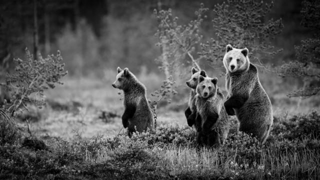 Поощрительная премия в категории «Дикие животные» среди профессионалов 2019. «Медвежья семья». Автор Бьорн Х Стуедал