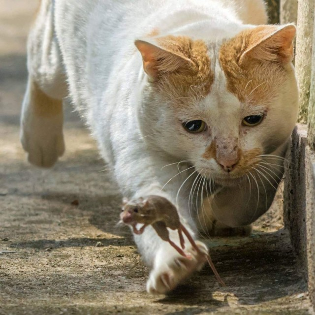 «Поймай меня, если сможешь». Том и Джерри на улицах Индии. Автор Debjyoti Sarkar
