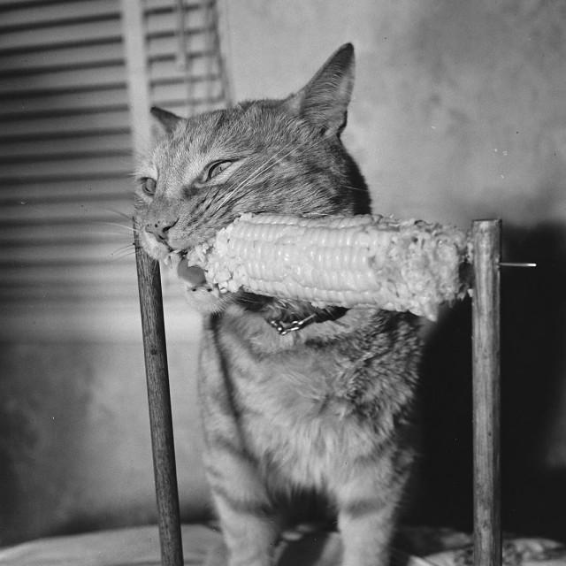«Кошка, испытывающая неконтролируемый энтузиазм к употреблению в пищу кукурузы с маслом». 1951 год. Фото Аллан Грант