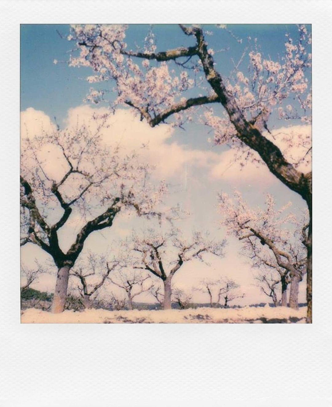 Сакура. Фотограф lincera