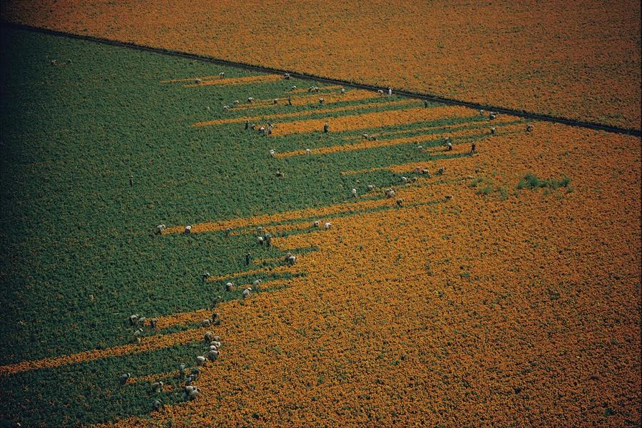 Поле из оранжевого становится зелёным после сборки цветков календулы. Лос-Мочис, Мексика, 1967. Фотограф У. Э. Гарретт