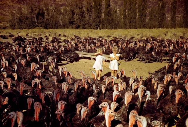 На индюшиной ферме в Айдахо, 1940-е. Фотограф Мейнард Оуэн Уильямс