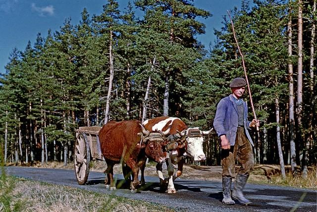 Фермер с быками, Верхняя Луара, Франция, 1955. Фотограф Жан-Поль Маргьяк