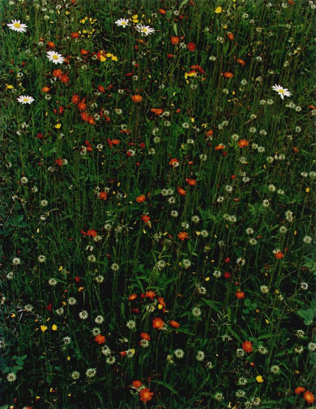 Цветущий луг. Остров Грейт-Спрус-Хед, штат Мэн, 1968. Фотограф Элиот Портер