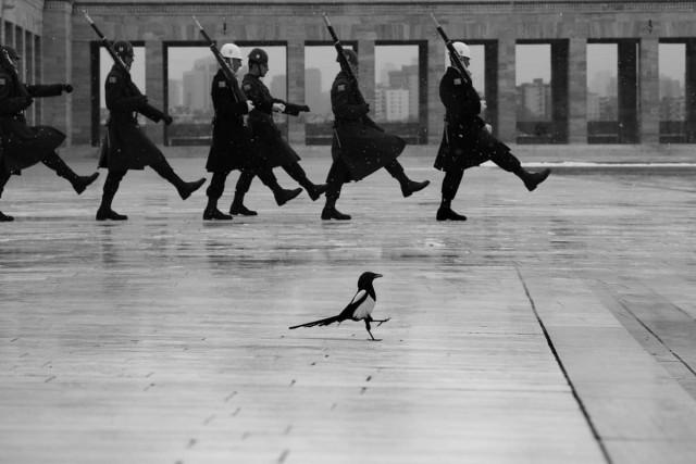 Марширующая сорока. Аныткабир, Анкара. Фотограф Фатих Чиндемир (Fatih Çindemir)