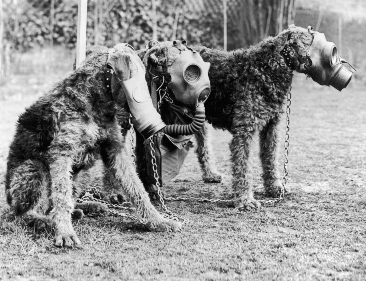 Военные собаки времён Первой мировой в роли постовых, разведчиков, крысоловов и талисманов