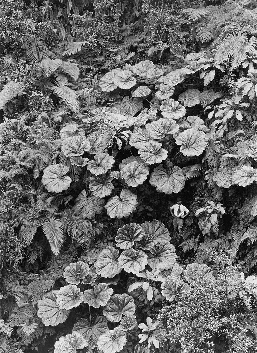 Растительность острова Мауи, Гавайи, 1924. Фотограф Гилберт Х. Гросвенор