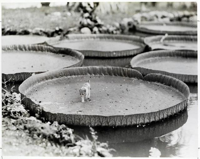 Котёнок на листе виктории амазонской, Филиппины, 1935. Фотограф Альфред Т. Палмер