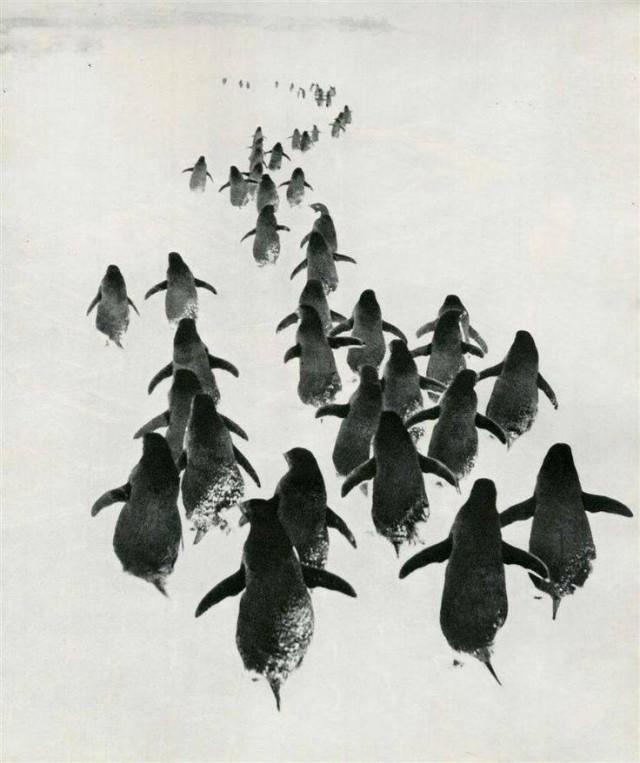 «Пингвины». Антарктида, 1967. Фотограф Геннадий Копосов