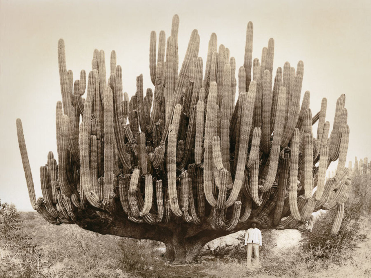 Pachycereus pringlei, также известный как мексиканский гигантский кардон или слоновий кактус, Мексика, 1895