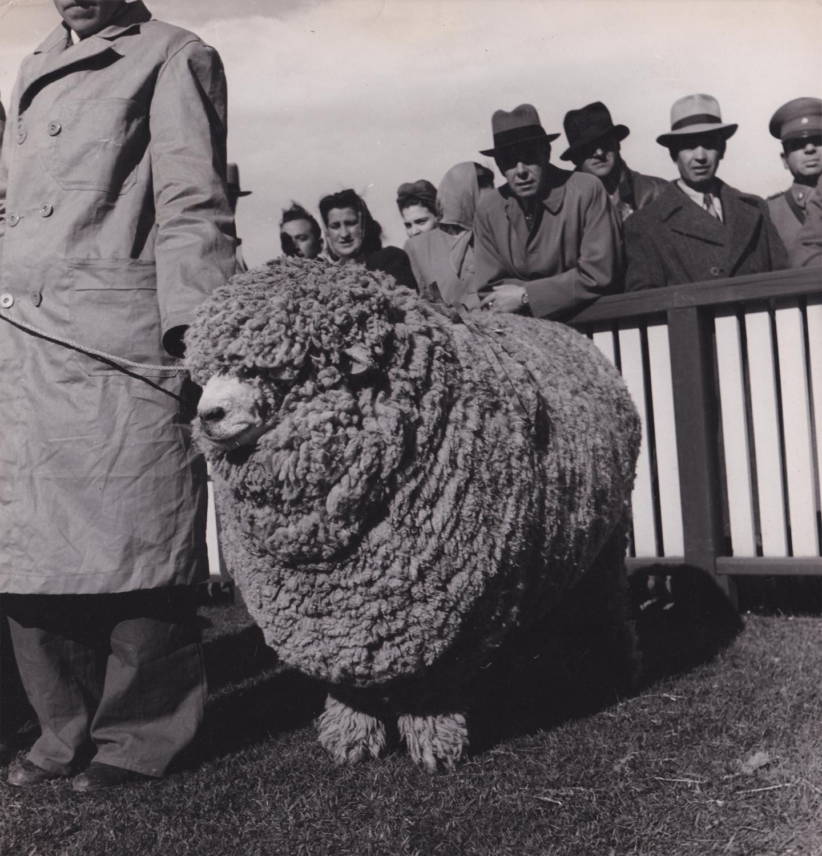 Чемпион конкурса овец. Аргентина, 1949. Фотограф Жизель Фройнд