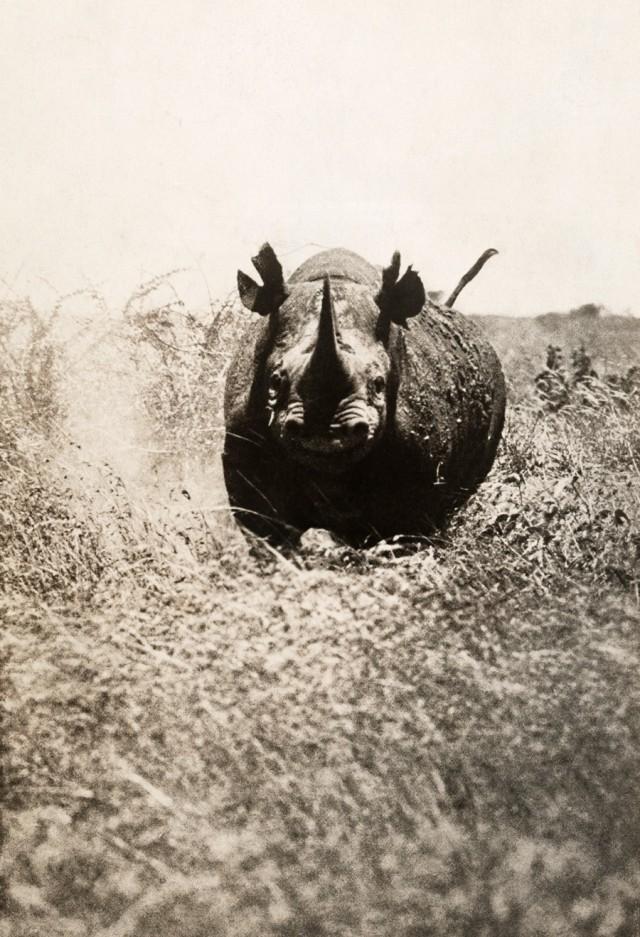 Носорог несётся на фотографа в Африке, 1910. Фотограф А. Дагмор