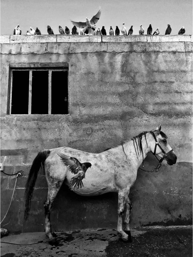 Крылатая лошадь в городе Биджар, Курдистан. Фотограф Али Асгар Фейзоллахи