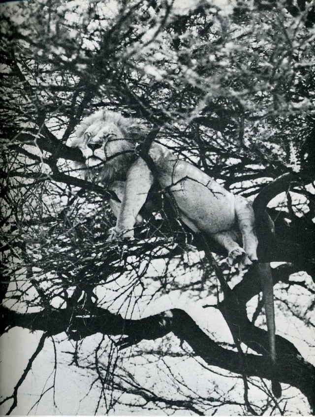 Лев, спящий на дереве. Национальный парк Лейк-Маньяра, Танзания, 1960-е. Фотограф Салли Энн Томпсон