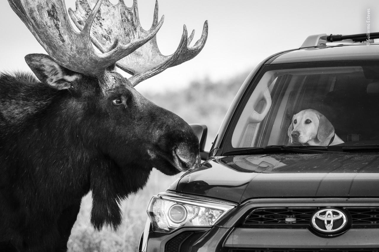 Лось и пёс. Национальный парк Гранд-Титон, Вайоминг, США. Фотограф Гильермо Эстевес