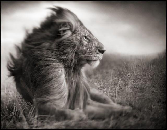 Лев перед бурей, Масаи-Мара, 2006. Фотограф Ник Брандт