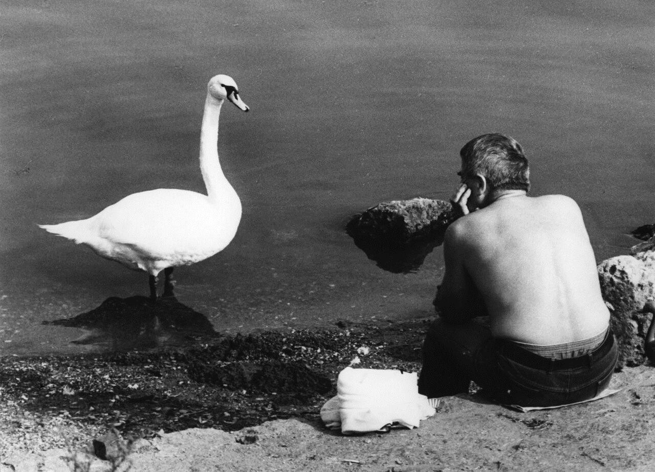Лебедь. Чехия, 1960-е. Фотограф Франтишек Досталь