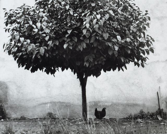 Дерево и курица. Франция, 1950. Фотограф Эдуард Буба