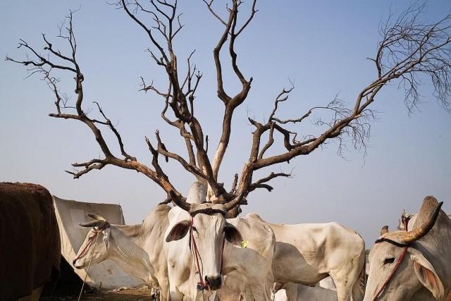 Ветвистые рога. Фотограф Винет Вохра (Vineet Vohra)