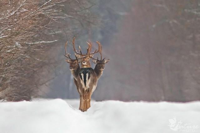 «Трёхглавый олень». Фотограф Ренатас Якайтис