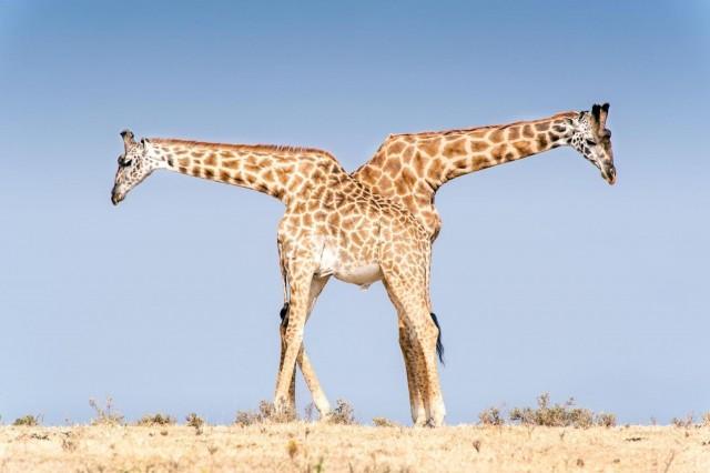 Жирафы в танзанийском заповеднике Нгоронгоро. Фотограф Лейнани Йосайтис
