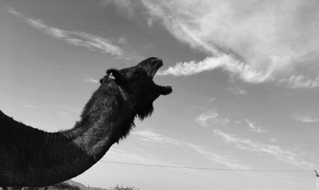 Верблюд, Пушкар, Индия, 2019. Фотограф Четан Шарма