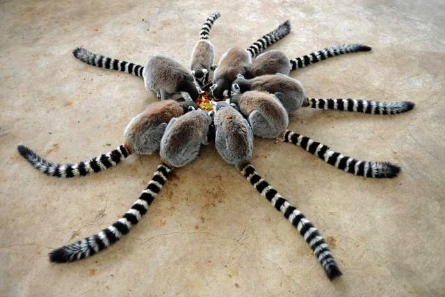 «Тарантул». Лемуры в парке дикой природы. Циндао, Китай