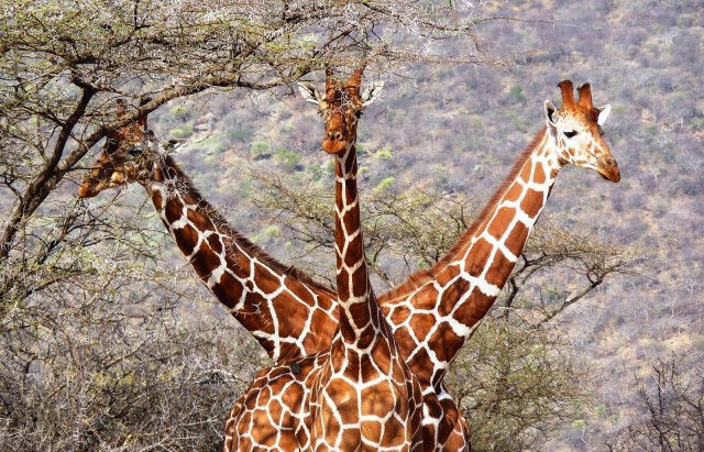 «Жираф Горыныч». Фотограф Тони Муртаг