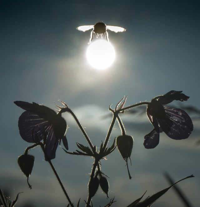«Шмель, уносящий солнце». Фотограф неизвестен