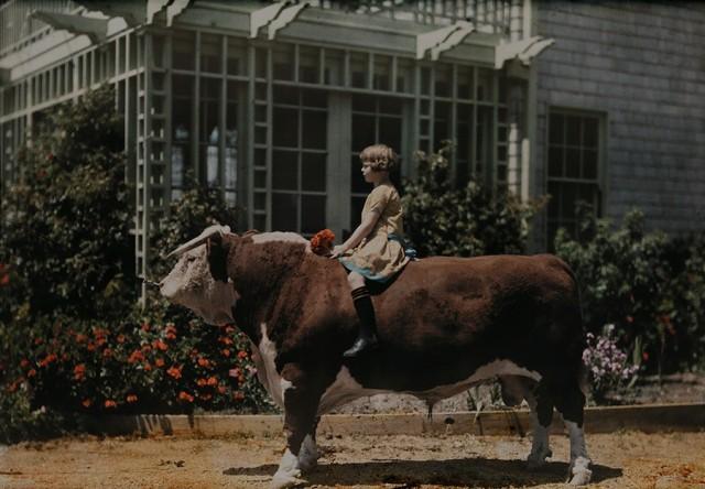 Верхом на быке вблизи Плезантона, Калифорния, 1926. Автохром, фотограф Чарльз Мартин