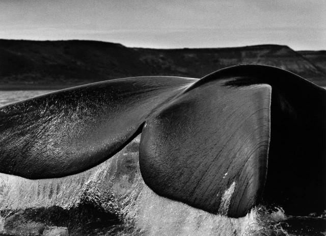 Южный гладкий кит, Патагония, Аргентина, 2004. Автор Себастьян Сальгадо