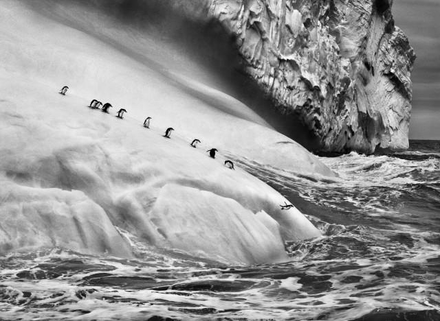 Пингвины на айсберге, Южные Сандвичевы острова, 2009. Автор Себастьян Сальгадо