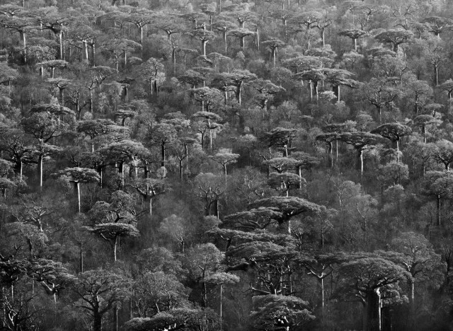 Адансония Грандидье (вид баобабов) на Мадагаскаре, 2010. Автор Себастьян Сальгадо